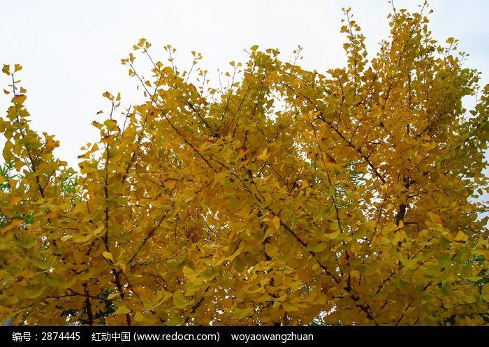 银杏树叶图卡通-秋季银杏树叶图片