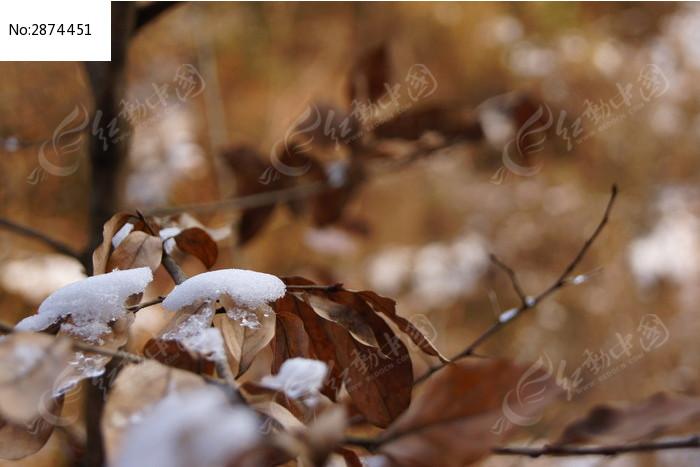原创摄影图 动物植物 树木枝叶 雪后树叶