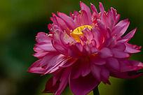 一朵花瓣很多的粉色荷花和黄色莲蓬