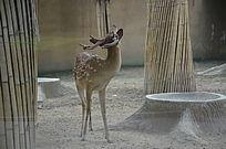 一只仰着头的梅花鹿