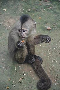 一只正在吃东西的可爱的猴子