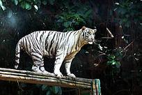 白老虎跳水