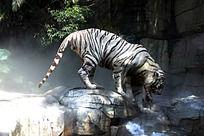 白老虎戏水