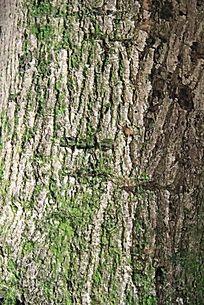 长者青苔的树皮