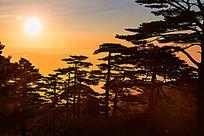初升的阳光照在黄山松上