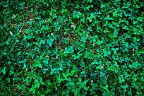 翠绿的三叶草底纹背景