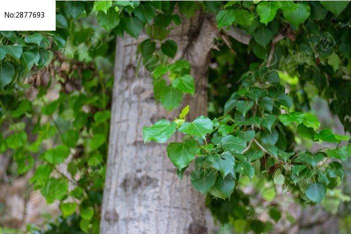 大梧桐树和树叶