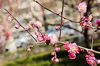含苞待放的花蕾和盛开的桃花