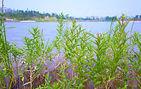 湖水边的青青水草