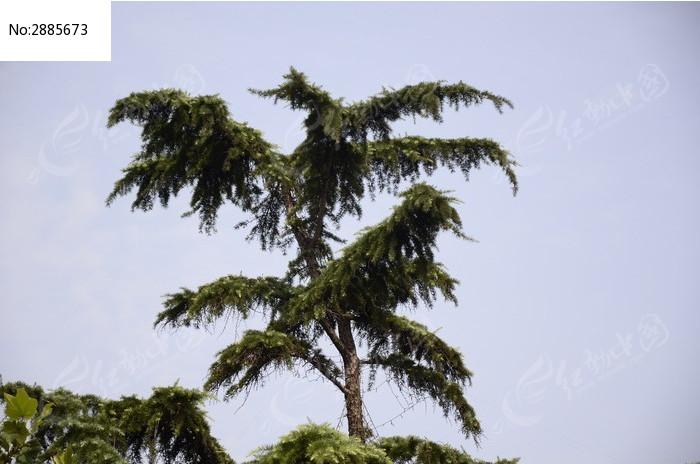 蓝天下一棵翠绿的松柏树