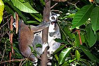 爬树的狐猴