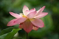 盛开的粉色荷花