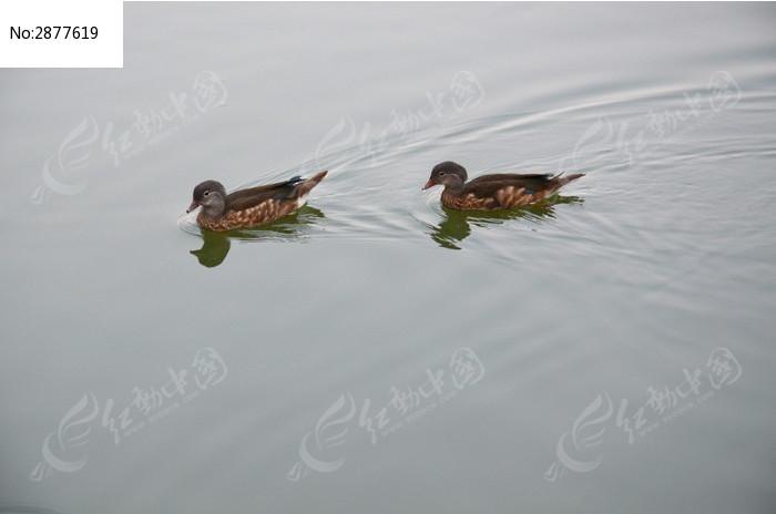 水鸭子图片素材下载(编号:2877619)