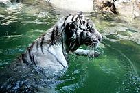 水中的老虎
