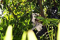 树上的狐猴