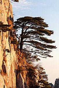 一棵黄山松矗立在陡峭的岩壁上