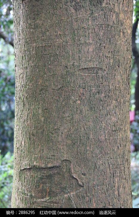 桉树树干上的奇特树皮图片_图片_红动手机版
