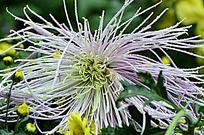 针叶型菊花