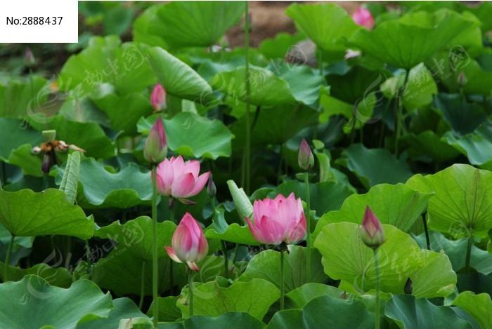 植物荷花图片