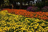 雏菊金盏菊和三角梅组成的花坛