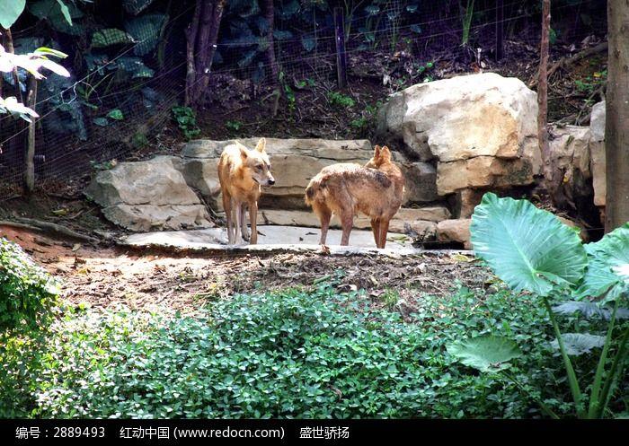 广州长隆动物园 动物园 野生动物 生物世界  野生动物 狼 狼族 狼图