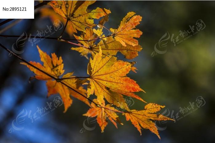 枫叶图片,高清大图_树木枝叶素材