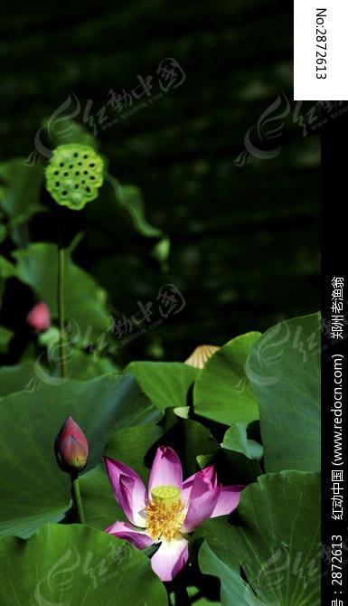 荷叶荷花荷苞莲蓬图片
