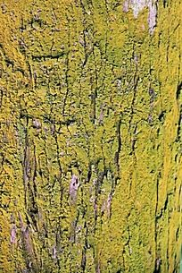 金黄色青苔的树皮