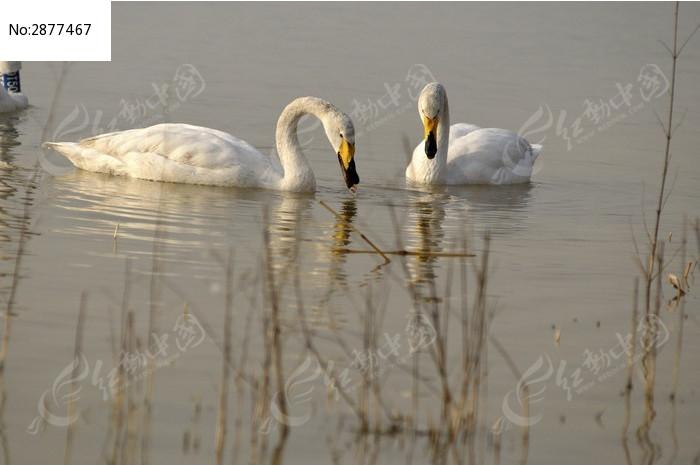两只白天鹅图片