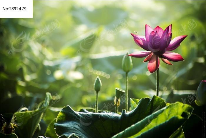 原创摄影图 动物植物 花卉花草 清晨中逆光的荷花