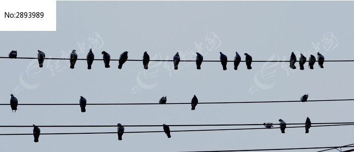 五线谱 鸽子