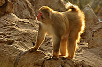 雄壮的猴子