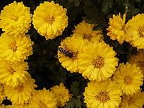 一丛黄色的金盏菊上的一只采蜜的蜜蜂
