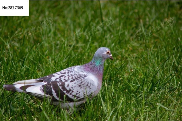 高清动物鸽子头像