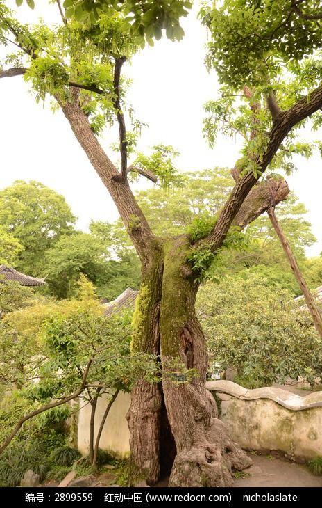 长青苔的大树图片_动物植物图片