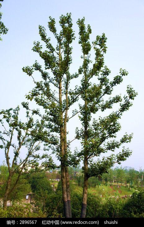 高高挺立的树图片,高清大图_树木枝叶素材