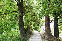 古红枫树林