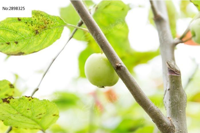 原创摄影图 动物植物 树木枝叶 苹果树