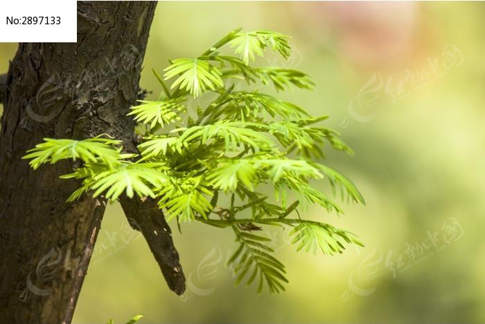新长出的水杉叶子图片