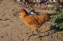一只黄色的小母鸡