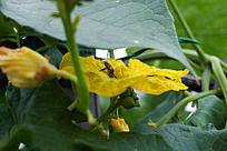 在南瓜花上采蜜的蜜蜂