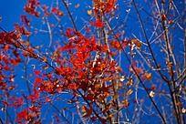 火红的红枫树
