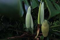 假芋头的花苞