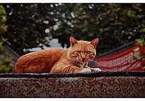 警惕前方的黄色猫咪