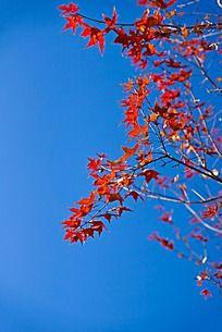 蓝天下火红的枫树