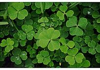 绿色幸运草无框画_装饰画/电视背景墙图片素材图片