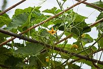 南瓜藤上大大的南瓜叶和一朵黄色的南瓜花