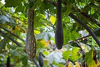 南瓜藤上结出两条长长的南瓜