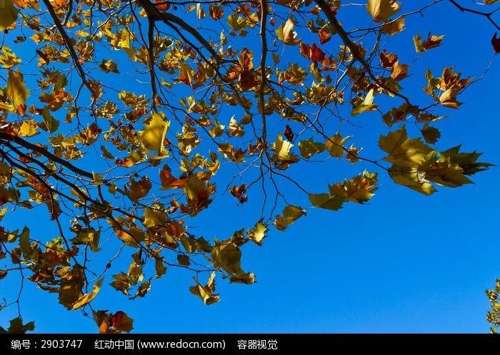 原创摄影图 动物植物 树木枝叶 > 秋天色彩艳丽的树叶图片  树叶 红叶
