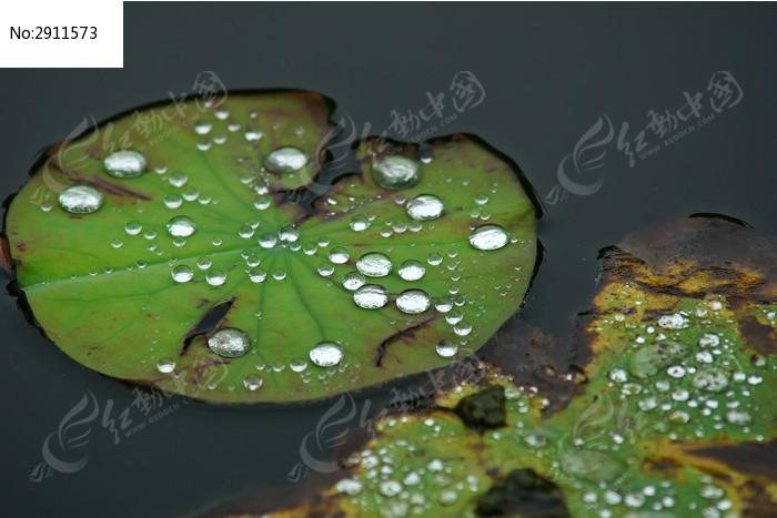 荷叶上的水珠图片_动物植物图片